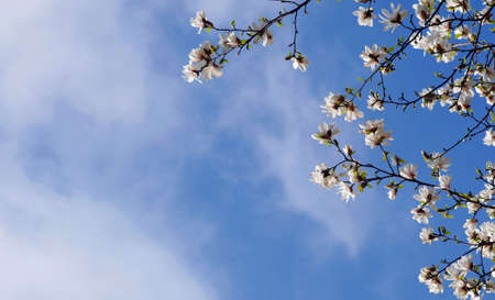 blooming white magnolia against the blue sky. trees blooming in spring
