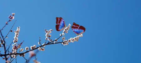 blossoming apricot. branch of blossoming apricot and bright blue morpho butterflies against blue sky