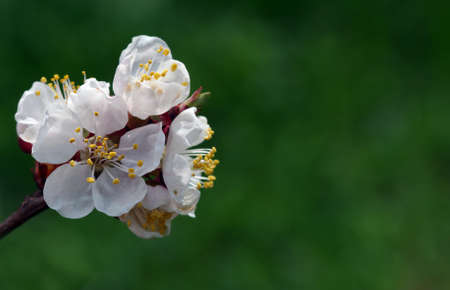 branch of blooming apricots on a background of blue sky. close up. copy space