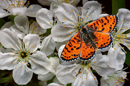 colorful red butterfly on cherry flowers in water drops close-up. bright butterfly and sakura blossoms