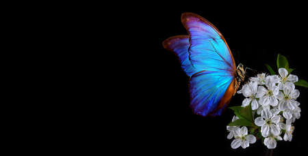 Bright blue morpho butterfly on a branch of blooming sakura. Blooming cherry and butterfly isolated on a black background. copy space