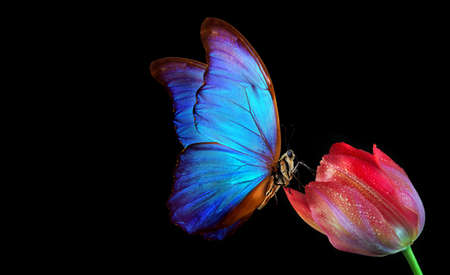 Beautiful colorful morpho butterfly on a flower on a black background. Tulip flower in water drops isolated on black. Tulip bud and butterfly.