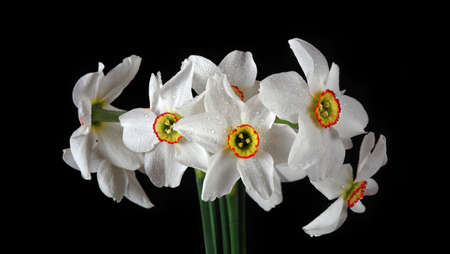 bouquet of beautiful white daffodils close-up. spring flowers