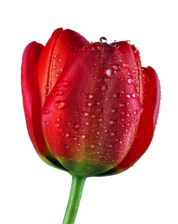 beautiful red tulip in water drops isolated on white Фото со стока