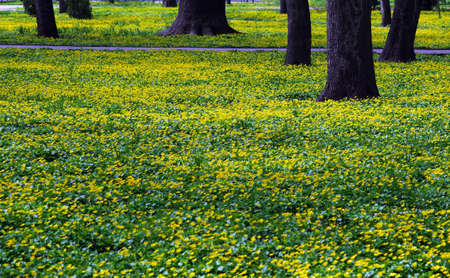 colorful yellow flowers in the park in spring Фото со стока