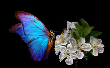 Bright blue morpho butterfly on a branch of blooming sakura. Blooming cherry and butterfly isolated on a black background. Фото со стока