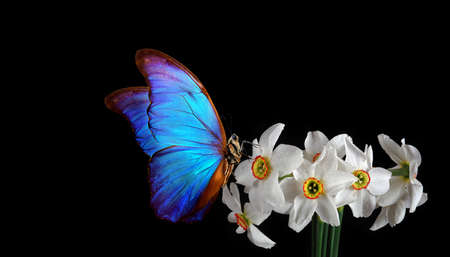 bright blue morpho butterfly on flowers of white daffodils on black background
