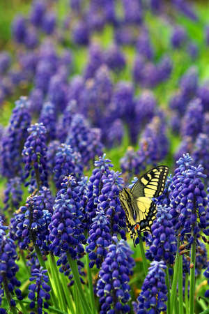 Blue Muscari flowers. blue spring flowers in the garden. colorful swallowtail butterfly on a field of blue flowers.