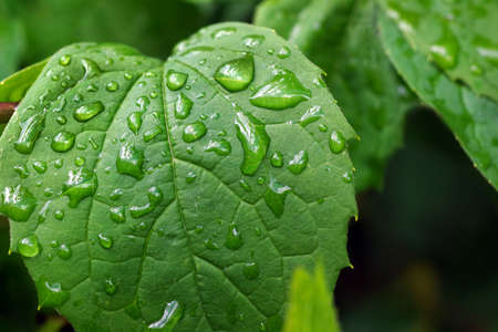 green leaf with water droplets. after the rain