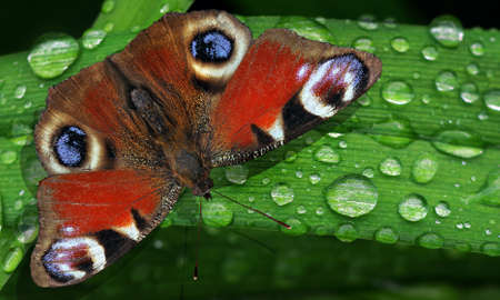 bright colorful peacock butterfly on green leaves of a lily in drops of water after rain