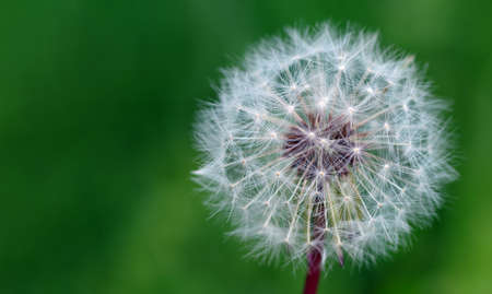 white fluffy dandelion in the meadow. copy space