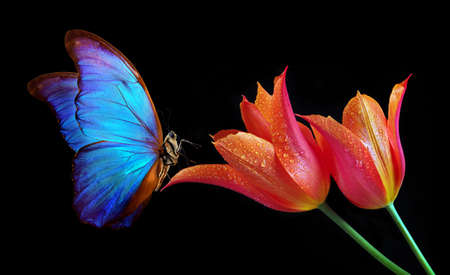 Beautiful colorful morpho butterfly on flowers on a black background. Tulip flowers in water drops isolated on black. Tulip buds and butterfly.