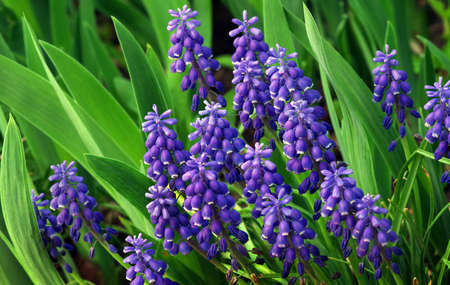 Blue Muscari flowers close up. blue spring flowers in the garden. Фото со стока