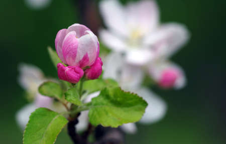 pink apple blossom in spring. apple flower close-up Фото со стока