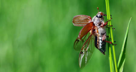 Chafer. May beetle with open wings on a blade of grass. copy space