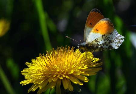 bright colorful butterfly on dandelion flower Фото со стока