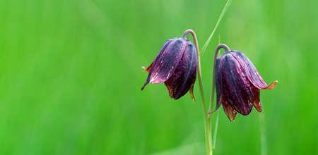 wild purple tulips on a green meadow. copy space Фото со стока