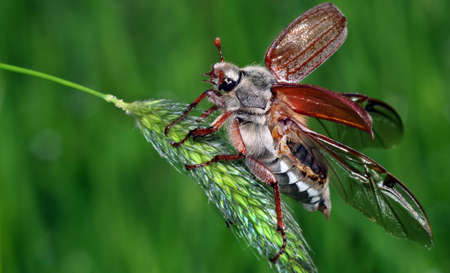 Chafer. May beetle with open wings on a blade of grass. Фото со стока