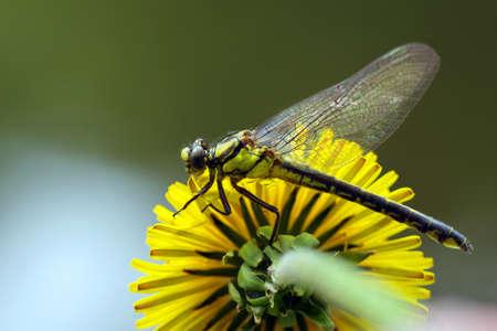 young dragonfly sitting on a dandelion flower. Фото со стока