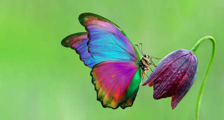 bright colorful morpho butterfly on purple wild tulip