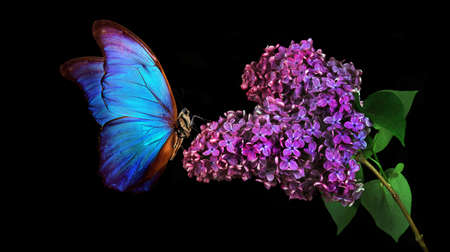 Beautiful blue morpho butterfly on a flower on a black background. lilac flower in dew drops isolated on black. lilac and butterfly. Фото со стока