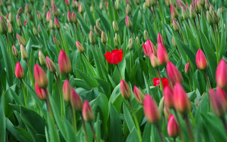 The first tulip in bloom. red tulips blooming in the garden. field of red tulips.