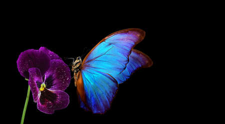 bright blue tropical morpho butterfly on pansy flower. colorful butterfly on violet Фото со стока