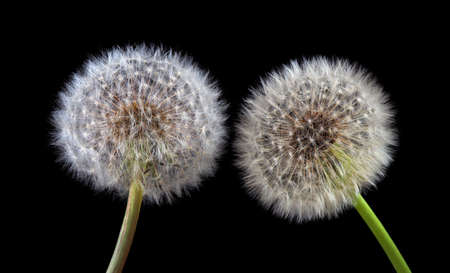 two white fluffy dandelions close up isolated on black Фото со стока