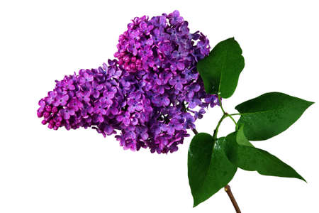 branch of blooming lilac isolated on white. purple lilac in water drops