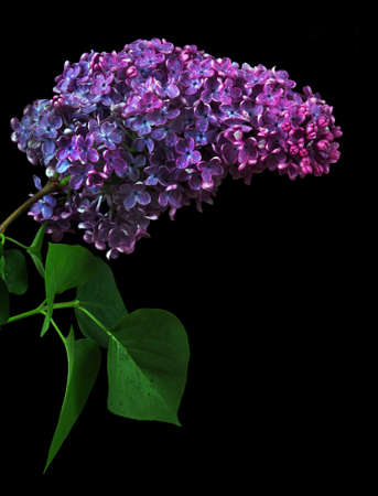 branch of blooming lilac isolated on black. purple lilac in water drops Фото со стока