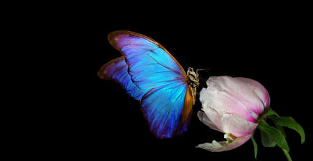 Beautiful blue morpho butterfly on a flower on a black background. copy spaces. white peony bud and butterfly