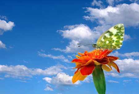 bright colorful butterfly on a marigolds flower against a blue sky with clouds. copy space