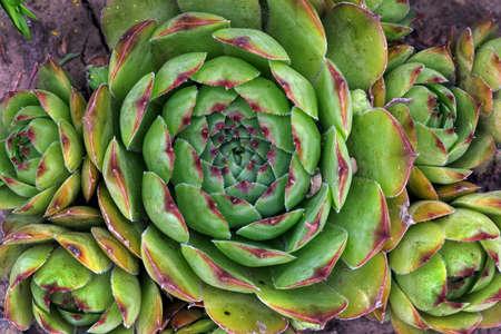 A group of succulent plants. desert rose top view Фото со стока