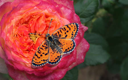 bright red butterfly on a colorful rose in the garden