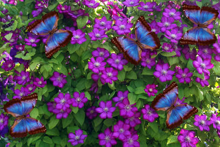 colorful blue morpho butterflies on purple clematis flowers. bright tropical background Фото со стока