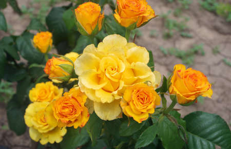 yellow rose bush blooming in the garden Фото со стока