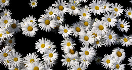 white daisies in the garden on black. natural flower pattern Фото со стока
