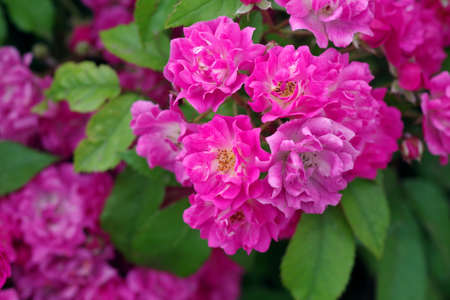 flowering branch of decorative rose. pink rose flowers background