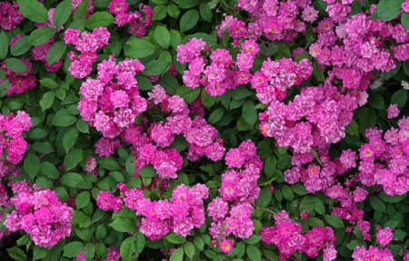 flowering bush of decorative rose. pink rose flowers background