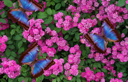 bright blue morpho butterflies on a bush of blooming pink rose Фото со стока