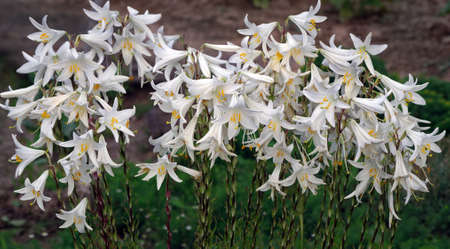 white blooming lilies in the garden Фото со стока