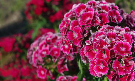 red sweet-william flowers close up. turkish carnation in the garden