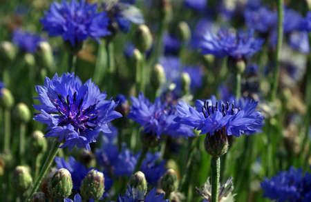 blue cornflowers blooming in the garden Фото со стока