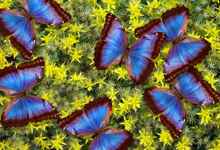 colorful blue morpho butterflies on yellow flowers. colorful tropical background