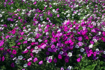 petunia flower bed in the garden close up.