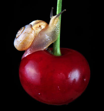 healthy ecological natural food concept. small snail on a ripe cherry.