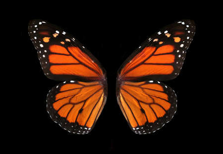 colorful monarch butterfly wings isolated on black Фото со стока
