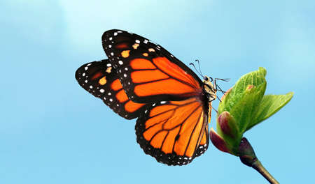 colorful monarch butterfly on young green leaves on a blue sky background Фото со стока