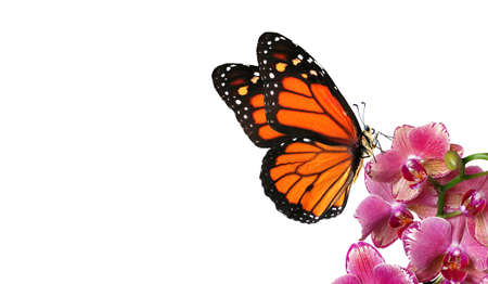 colorful monarch butterfly on orchid flowers isolated on white Фото со стока