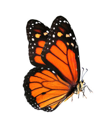 colorful monarch butterfly isolated on white Фото со стока